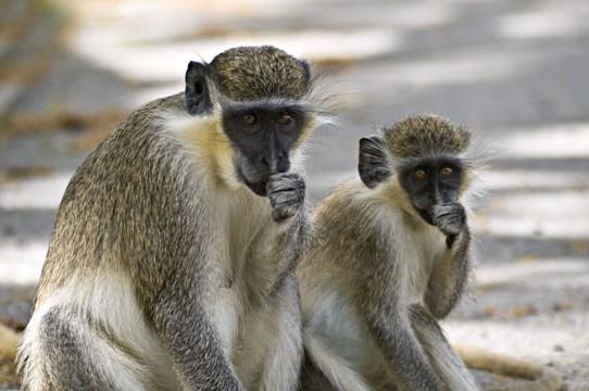 mylazyprofitempire-monkey-see-monkey-do-e1457873542904